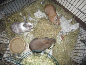 Initial meeting between Daisy (white & grey), George (Brown lop) and Hazel.