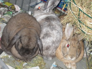 As things progressed i added in a litter tray, more hay and a water bowl and Daisy squeezed herself in between George and Hazel.